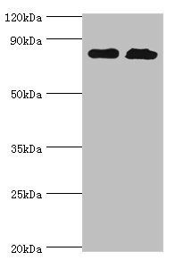 Western blot analysis of PC-3 & Hela whole cell lysate using QARS antibody