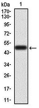 Western blot analysis of human (AA: 198-407) recombinant protein using RAF1 antibody
