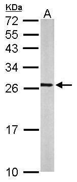 Western blot analysis of mouse brain using RALA antibody