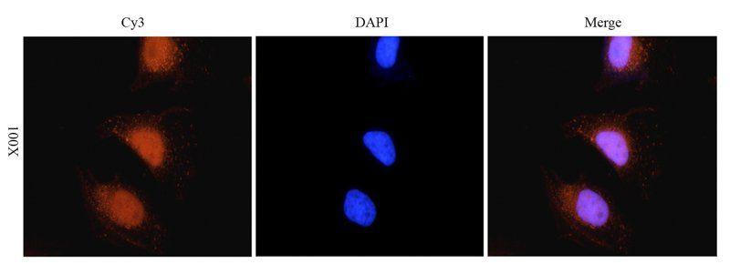 Immunofluorescence analysis of human hela cells tissue using RANTES antibody (5 ug/ml)