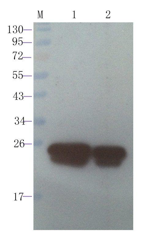 WB analysis of RANTES-Trx recombinant protein 200 ng (lane 1), RANTES-Trx recombinant protein 100 ng (lane 2) using RANTES antibody (1 ug/ml)