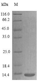 SDS-PAGE analysis of Rat XCL1 protein