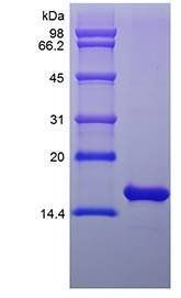 SDS-PAGE analysis of Rat FGF basic protein