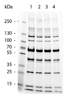SDS-Page analysis of Protein Molecular Weight Marker 12.5 uL(Lane 1), Protein Molecular Weight Marker 10.0 uL(Lane 2), Protein Molecular Weight Marker 7.5 uL(Lane 3), Protein Molecular Weight Marker 5.0 uL(Lane 4) using Protein Molecular Weight Marker.