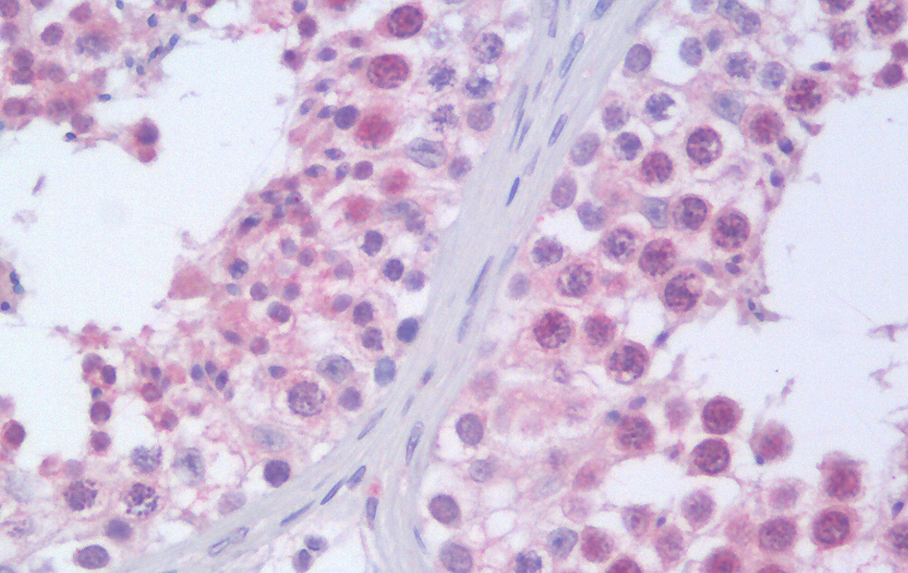 Immunohistochemical staining of Human Testis using RANBP9 antibody.