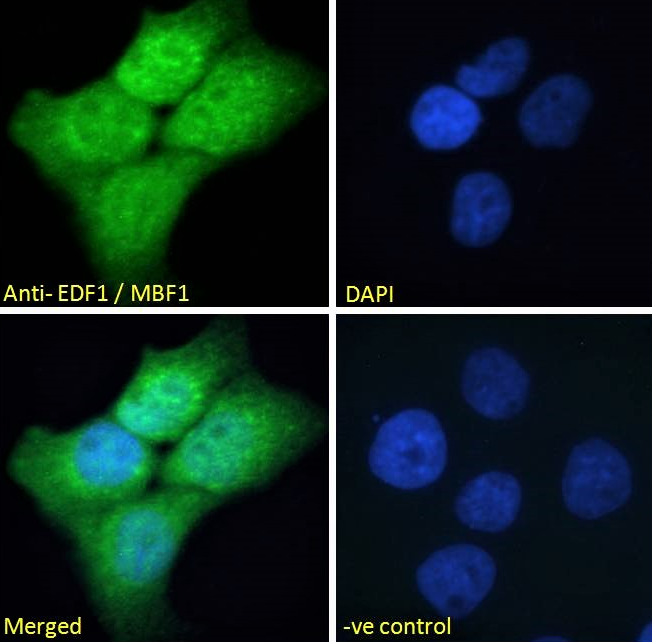 Immunofluorescence analysis of paraformaldehyde fixed A431 cells using EDF1 antibody.
