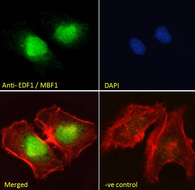 Immunofluorescence analysis of paraformaldehyde fixed HeLa cells using EDF1 antibody.