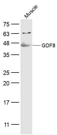 Western blot analysis of Mouse Muscle Lysate using GDF8 antibody.