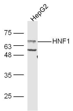 Western blot analysis of Human HepG2 Cell lysate using HNF 1 alpha antibody.