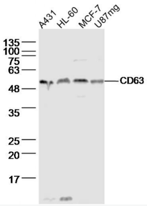 Western blot analysis of Human A431 cell Lysate(lane 1), Human HL-60 cell Lysate(lane 2), Human MCF-7 cell Lysate(lane 3), Human U87mg cell Lysate(lane 4) using CD63 antibody