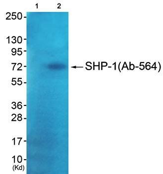 Western blot analysis of extracts from JK cells using SHP-1 antibody