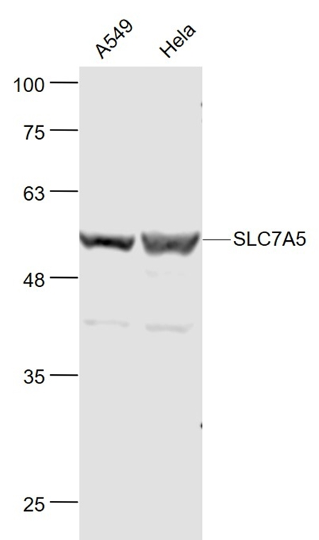 Western blot analysis of human A549 and Hela Cell Lysate at 30 ug using SLC7A5 antibody