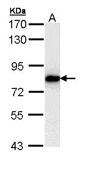 Western Blot analysis of A:H1299 whole cell lysate using SNRK antibody