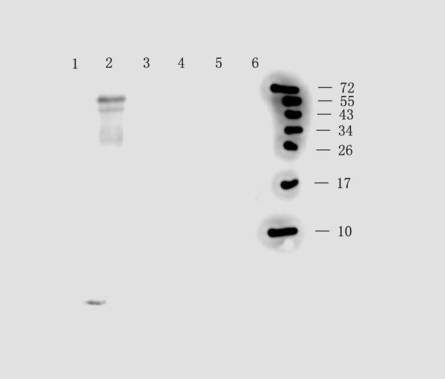 Western blot analysis of rat brain (lane 1), rat liver (lane 2), mouse spinal cord (lane3), 293t (lane4), rat spleen (lane 5), rat small intestine (lane 6) tissue using anti-Substance P (0.5 ug/ml)