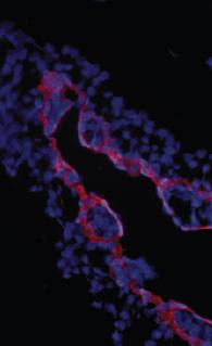 Immunohistochemical staining of extraembryonic membranes using TGFbeta receptor III antibody