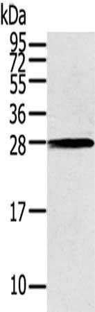 Western blot aanalysis of THAP3 antibody