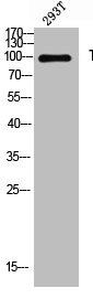 Western blot analysis of 293T lysis using THBS4 antibody