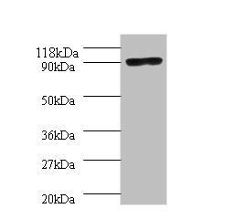 Western blot analysis of 293T whole cell lysate using Thermus aquaticus DNA polymerase I,thermostable antibody