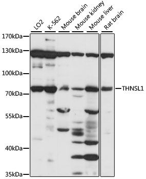 Western blot analysis of extracts of various cell lines lysates using THNSL1 antibody