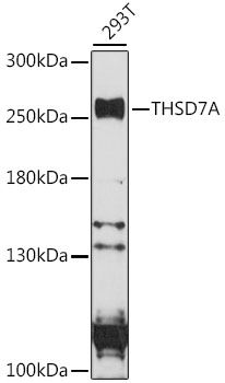 Western blot analysis of extracts of 293T cells lysates using THSD7A antibody