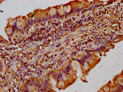 Immunohistochemistry of paraffin-embedded human small intestine tissue using TMF1 antibody