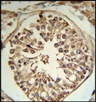 Immunohistochemical staining of paraffin embedded human testis tissue using TMPRSS2 antibody (primary antibody dilution at: 1:50-100)