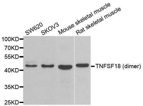 Western blot analysis of extracts of various cell lines using TNFSF18 antibody