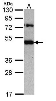 Western Blot analysis of A:H1299 whole cell lysate using TRAM1 antibody
