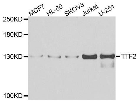 Western blot analysis of extracts of various cells using TTF2 antibody
