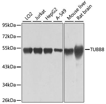 Western blot analysis of extracts of various cell lines lysates using TUBB8 antibody
