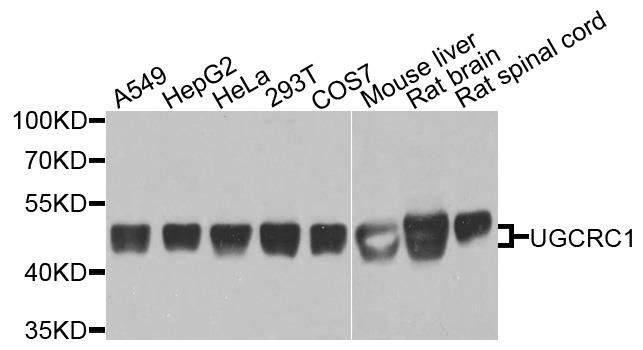 Western blot analysis of extracts of various cells using UQCRC1 antibody