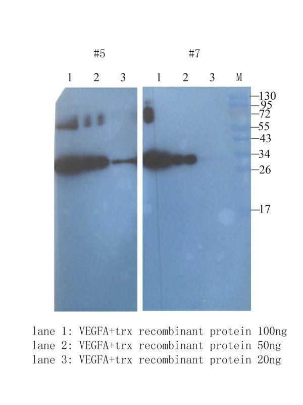 WB analysis of  protein 100 ng (lane 1), protein 50 ng (lane 2), protein 20 ng (lane 3) tissue using VEGFA antibody (1 ug/ml)