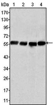 Western blot analysis of Hela (Lane1), COS (Lane2), HEK293 (Lane3) and U20S (Lane4) cell lysate using Vimentin antibody