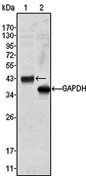 Western blot analysis of Hela cell lysate using WNT10B antibody