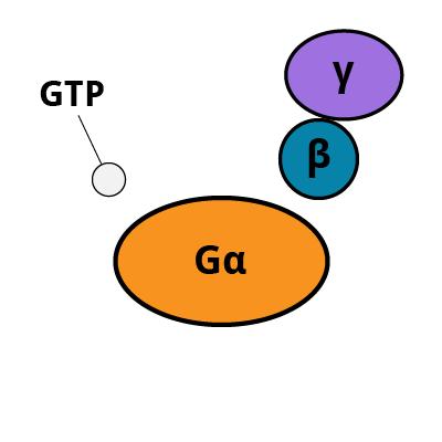 GPCR Pathway