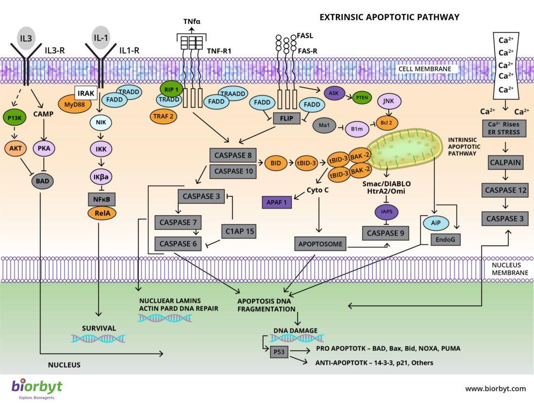 Apoptosis Signaling Pathway
