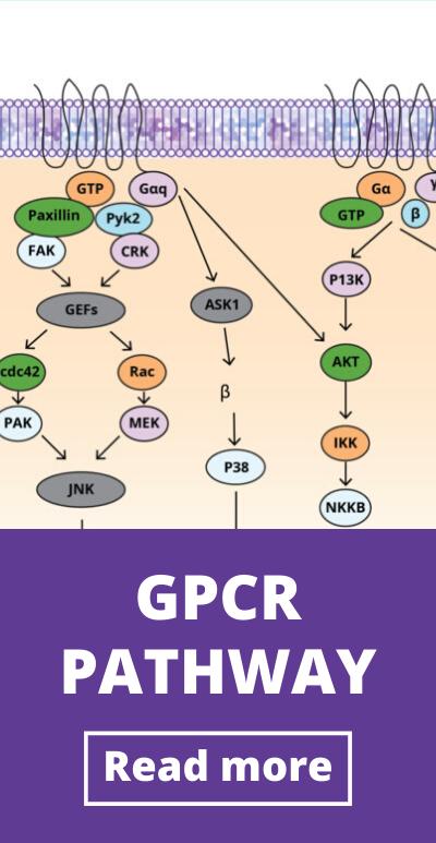 GPCR signaling pathway