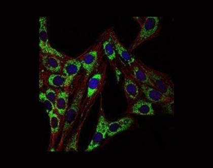 HSP90AA1 antibody