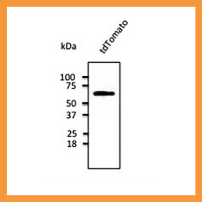 tdTomato antibody